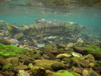 鮭の海洋生活期の餌