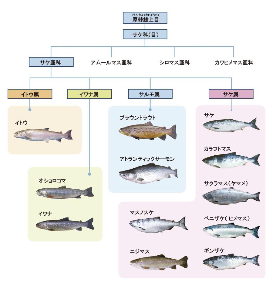 サケ科魚類の分類体系(抜粋)